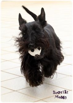 Another soccer loving scottie just like our Charlotte!