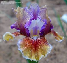 Full size picture of Intermediate Bearded Iris 'Wrong Song' (Iris)