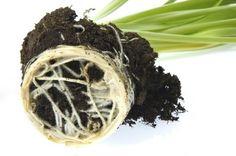 How to Make Mycorrhizal Fungi