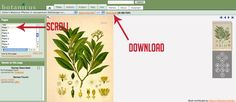 Free Botanical Art Prints. Botanicus is a free, Web-based encyclopedia of digitized historic, botanical literature from the Missouri Botanical Garden Library.