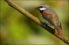 Red-Tailed Vanga - Calicalicus madagascariensis - Living in tropical or subtropical dry and moist forests of Madagascar, this bird is of the family Vangidae - Image : © Dubi Shapiro / October 6, 2010