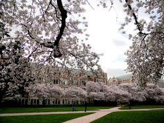 Cherry Blossoms on University of Washington Campus Quad