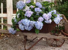 LOVE this idea - a vintage wheelbarrow used as a planter for a gorgeous hydrangea - GORGEOUS!!