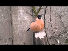 Bullfinch Singing (Zingende Goudvink) - YouTube
