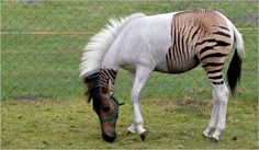 Hybridization example - a zorse (zebra-horse) named Eclyse.    Photo: Bernd Thissen  http://www.nytimes.com/2010/09/14/science/14creatures.html