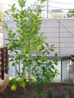 植栽 庭木 常緑樹 レモン