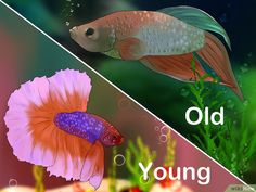 How to Tell How Old a Betta Fish Is: 6 Steps (with Pictures) Beta Fish Care, Betta Fish Toys, Fish Tank Themes, Fisher, Fish Fin, Siamese Fighting Fish, African Cichlids, Tropical Fish, Pisces