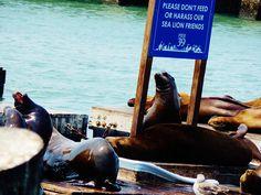 sea lions on the wharf, san fran Sea Lions, San Francisco