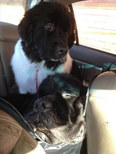 Newfie and Newfie Puppy :)