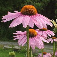 Coneflower comes in a variety of colors! Drought tolerant