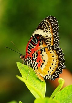 butterflies of China - Google Search