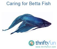 This guide is about caring for betta fish. Some of the prettiest fresh water fish, Bettas don't require as much special treatment as you may think.