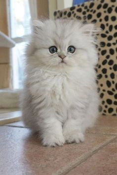 Cute Baby Cats, Cute Cats And Kittens, Cute Baby Animals, Kittens Cutest, Funny Animals, Fluffy Kittens, Funny Cats, Pretty Cats, Beautiful Cats