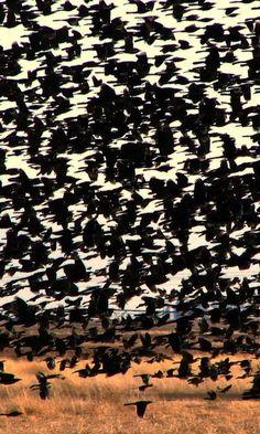 Crows in flight