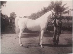 Sire of Aswan (EGY) Nazeer (EGY) 1934 - grey stallion - by Mansour out of Bint Samiha by Kazmeen (GB) #elzahraa_stud