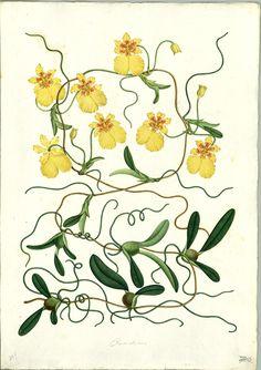 https://flic.kr/p/sRmAcy | Oncidium globuliferum | Anónimo Oncidium globuliferum Kunth (Orchidaceae) Dibujo a la témpera sobre papel ; 540 x 380 mm Real Expedición Botánica del Nuevo Reino de Granada (1783-1816) Archivo del Real Jardín Botánico, CSIC. Div. III, 488  Publicada en: MUTIS, J.C. Flora de la Real Expedición Botánica del Nuevo Reino de Granada (1783-1816) [...]. Madrid : Ediciones Cultura Hispánica, 2000, Tomo XI, XXXIV. Det.: Pedro Ortiz Valdivieso