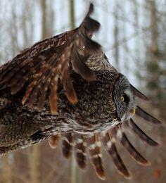 Great Gray Owl -- by Richard Chamberland (On bird 161 off 332), via Flickr