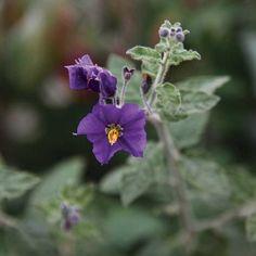 Best Fragrant Perennials – Central California