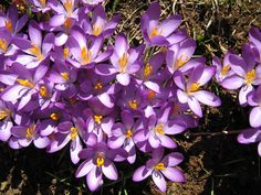 Purple crocus My Favorite Things, Purple, Flowers, Plants, Flora, Royal Icing Flowers, Floral, Plant, Viola