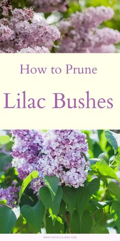 Learn when and how to prune your lilac bush! Pruning properly is essential to ensuring next year's flower blooms, and this guide will help!
