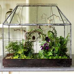 Wardian case - antique #terrarium planted with flowering cape primrose, rabbit's-foot fern, golden club moss, black and dwarf mondo grass, variegated ivy, angel's tears, and kenilworth ivy.