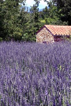Lavender Fields in Valensole, Provence, south East of France Lavender Cottage, Lavender Garden, Lavender Blue, Lavender Flowers, Lavander, Lavender Fields France, French Lavender Fields, Purple Flowers, Beautiful Gardens