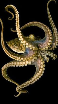Octopus. Such movement and beauty. #underwater #animals