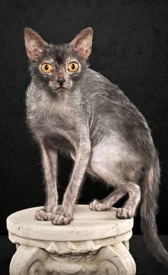 lykoi cat, a new breed  werewolf cat @Kelly Teske Goldsworthy Teske Goldsworthy Teske Goldsworthy Vordale