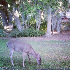 Seabrook Island deer!
