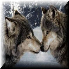 wolves two wolves