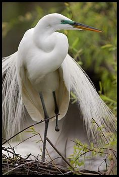 A one-footed great egret determined to find a mate and raise chicks performs its courtship display after most other great egrets have nested.