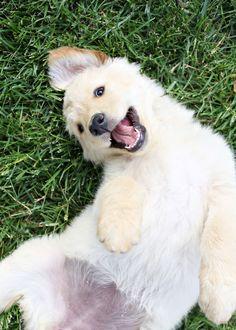 Golden Retriever puppy... @KaufmannsPuppy