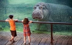 A hippopotamus makes eye contact with two young visitors at a zoo in Spain.  The hippo appeared to be locked in a staring contest with the children during their visit to the Valencia Bioparc.