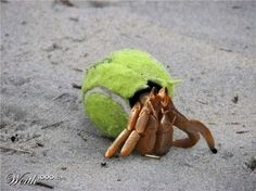 Hermit Crab Wearing a Tennis Ball))) Ocean Pollution, Plastic Pollution, Save Our Earth, Save The Planet, Stop Animal Cruelty, Warm Fuzzies, Environmental Art, Global Warming, Sea Creatures