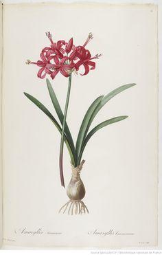 Les Liliacées. Tome 1 / , par P.-J. Redouté Auteur : Redouté, Pierre-Joseph 1802