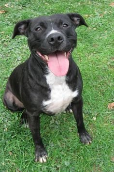 Smidget • American Staffordshire Terrier Mix • Adult • Female • Medium • Marion County Humane Society • Fairmont, WV •