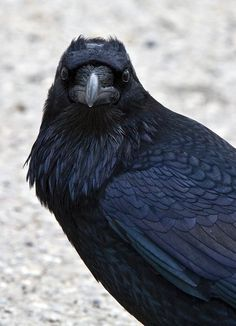 I love black crows cause if you look closely they are beautiful.