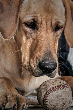 Ginger, a yellow Labrador retriever from Rockport, Texas