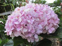 flor flower hidrangea hortência botânica botanical
