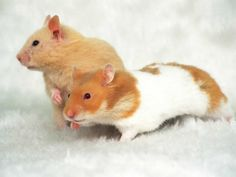 hamsters | Er zijn verschillende soorten hamsters. De hamsters die als huisdier ...