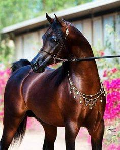 Stunning dark shiny Arabian. So handsome.