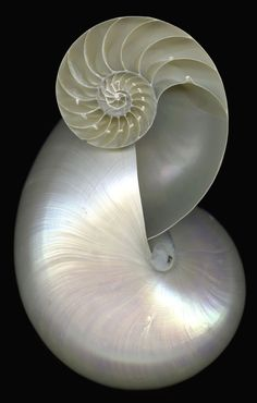 Double Nautilus shell ~ You can't improve on perfection of design ~ Foto Macro, Fibonacci Spiral, Shell Collection, Nautilus Shell, In Natura, Shell Art, Patterns In Nature, Ocean Life, Marine Life