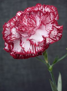 Carnation is the month of January. Symbolism...Each color of a Carnation has a different meaning. Light red symbolizes admiration, while dark red symbolizes a deep love. White symbolizes both pure love and luck. Striped Carnations symbolize regret. Purple Carnations are said to indicate capriciousness. Green Carnations are used predominantly on St. Patrick's Day. Pink Carnations are said to be a symbol of a mother's undying love.