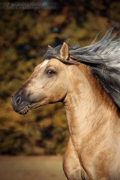 Merveillous -  grade horse- his exact breeding is unknown, but he probably has Iberian ancestry.