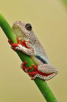 Botswana Reed Frog | Image taken from a canoe poled by a Mok… | Flickr