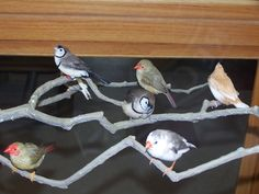 A pair of owl finches, a pair of star finches, a zebra finch, and a society finch.  June 5, 2013