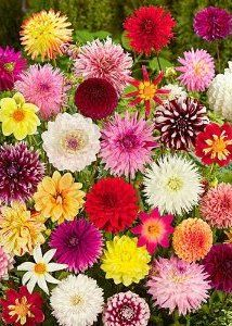 Dahlias Flower: Growing Dahlias for Cut Flowers