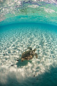 A Green Sea Turtle swimming in the lagoon of Conception Island by John Peltier