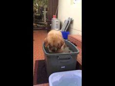 Golden Retriever Splashes Around in Tub of Water