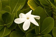 Caring and fertilizing a gardenia plant (once a month with coffee grounds and vinegar water)